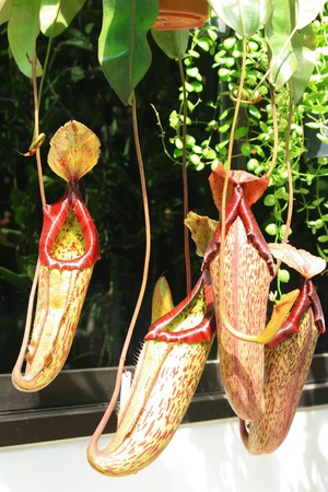 digest: Leaves of carnivorous plant - Nepenthes