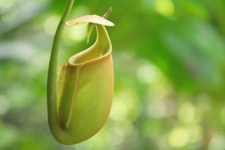carnivorous: Leaves of carnivorous plant - Nepenthes