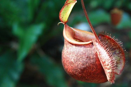 insectivorous: Catch bag of the tropical insectivorous plant Stock Photo