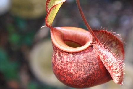 Catch bag of the tropical insectivorous plant photo