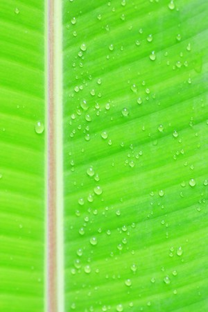 Banana leaf with rain drop photo