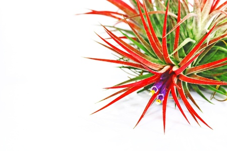 tillandsia: Flower of tillandsia on white background.
