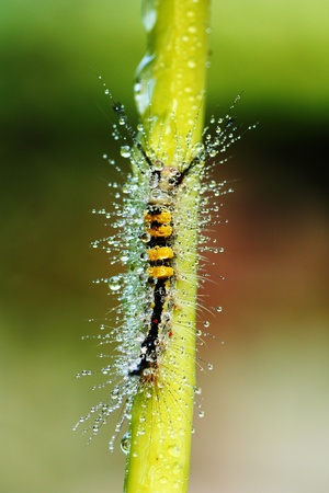 pupation: close-up of a hairy caterpillar on natural background  Stock Photo