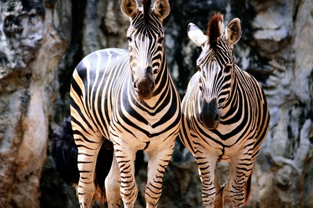 Zebras in soft afternoon light,  Stock Photo - 8461263