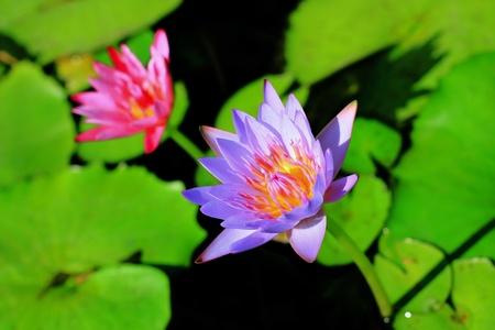 La flor de loto y la hoja de loto. Foto de archivo - 8586396