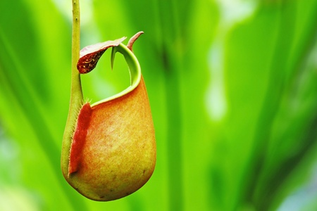 Captura de bolsa de la planta tropical insectívora, Nepenthes
