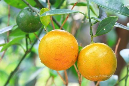 valencia orange: oranges on a tree