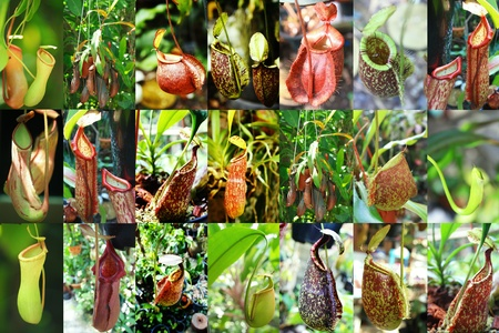 insectivorous: Catch bag of the tropical insectivorous plant, Nepenthes  Stock Photo