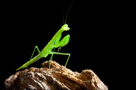 Praying mantis with black background  photo
