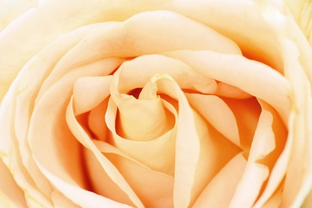Close up of beautiful rose flower Stock Photo