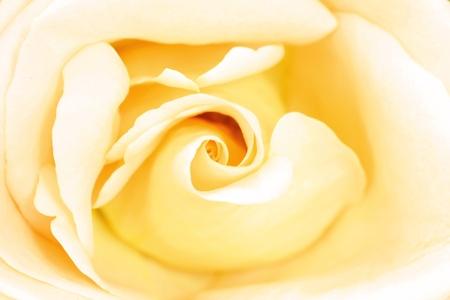 Close up of beautiful rose flower photo