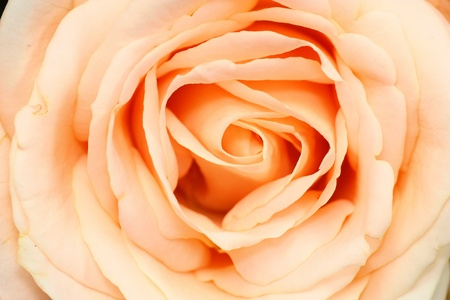 Close up of beautiful rose flower photo
