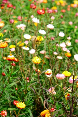 Strawflower  photo
