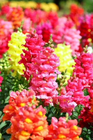 plantaginaceae: beautiful snapdragon flowers for backgrounds Stock Photo