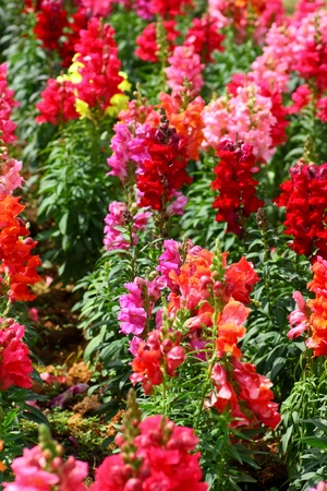snapdragon: beautiful colored snapdragon flowers in a garden