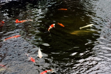 sanshoku: colorful koi carps surfaces in a feeding frenzy