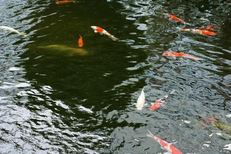 colorful koi carps surfaces in a feeding frenzy  photo