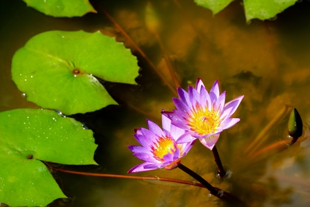 Water lily Stock Photo - 13527583