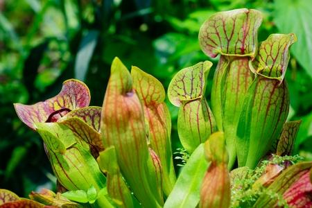 insectivorous plants: Sarracenia
