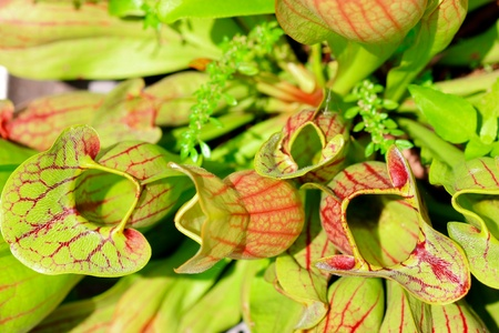 insectivorous: fly catching carnivorous pitcher plant
