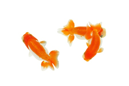 gold fish isolated on white background Stock Photo - 13692780