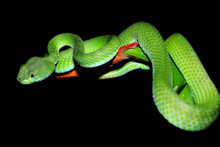 snake  green pit viper  in forest  photo