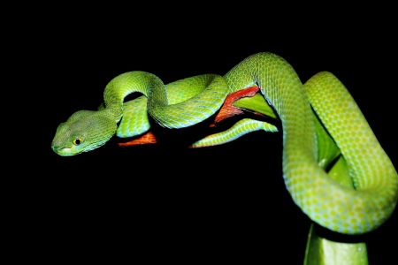 viper: snake  green pit viper  in forest