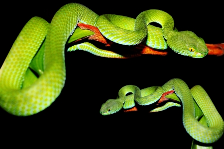 snake  green pit viper  in forest  Stock Photo - 13692797