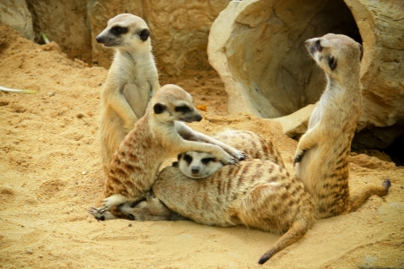 suricata suricatta: Family of Meerkats portrait in soft afternoon light