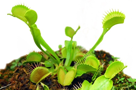 Venus fly trap  photo
