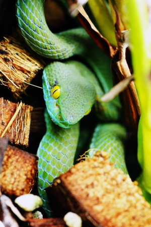 limbless: snake  green pit viper  in forest
