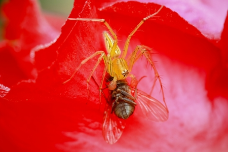 Closeup of small jumping spider eating fly  photo