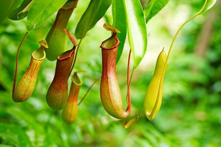 Catch bag of the tropical insectivorous plant, Nepenthes Stock Photo