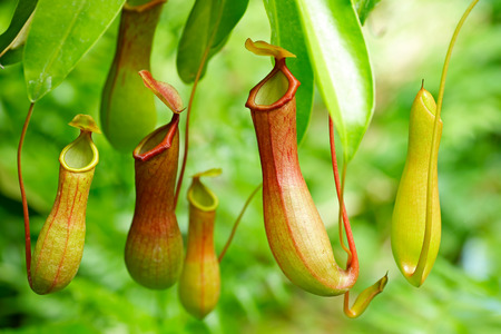 Catch bag of the tropical insectivorous plant, Nepenthes Reklamní fotografie