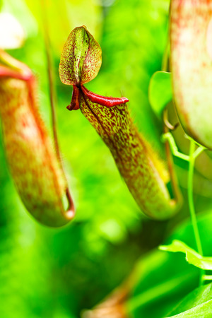 Catch bag of the tropical insectivorous plant, Nepenthes photo