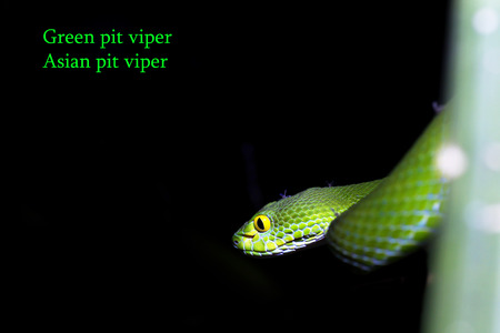 snake (green pit viper) in forest Stock Photo