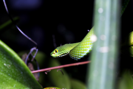 limbless: snake (green pit viper) in forest Stock Photo