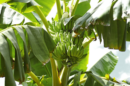 unripe: Green Unripe Bananas in Thailand