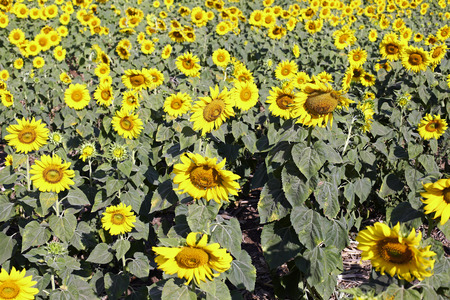 non cultivated: Sunflower field