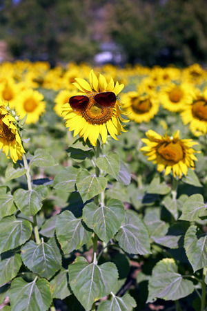 non cultivated land: Sunflower field