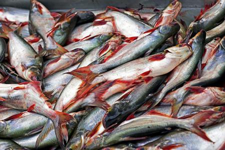 pangasius: Pangasius fish in the market