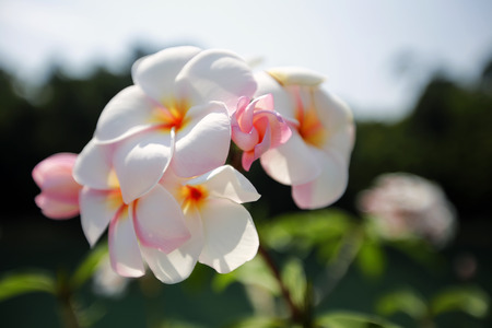 inflorescence: Plumeria. Beautiful pink inflorescence