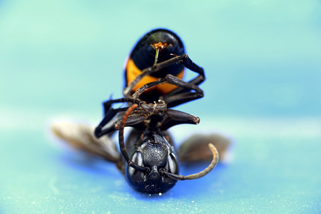 paper wasp: Paper Wasp Polistes metricus on background Stock Photo