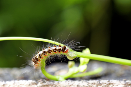 devouring: Caterpillar devouring the plants in a garden