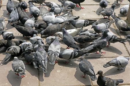 Tauben Auf Dem Boden Verursacht Kot Und Schlechten Geruch Problem