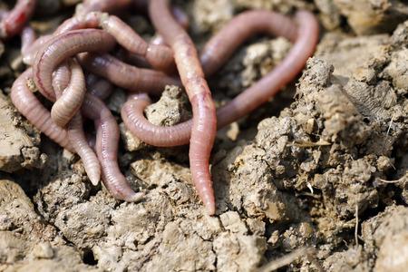earthworms: Las lombrices de tierra en el molde, foto macro
