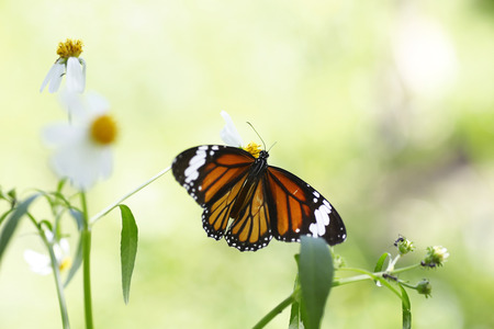 giant sunflower: Monarch Butterfly on a flower