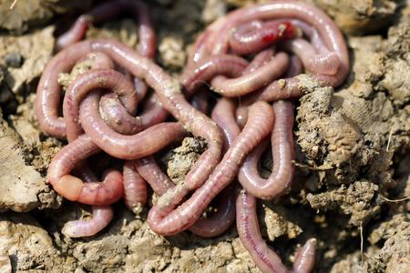 anguine: Earthworms in mold, macro photo