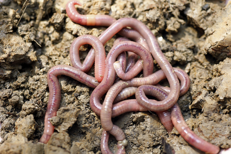 earthworms: Earthworms in mold, macro photo