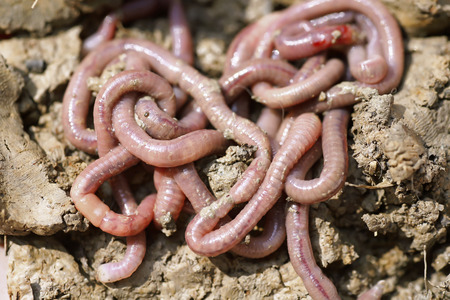 macro   photo: Earthworms in mold, macro photo